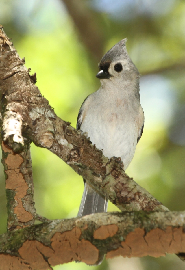 Tufted Titmouse ... A species that is fairly rare for Palm Beach County.