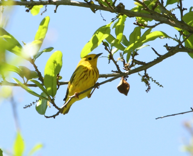 Yellow Warbler ... New bird for me at Fort DeSoto!