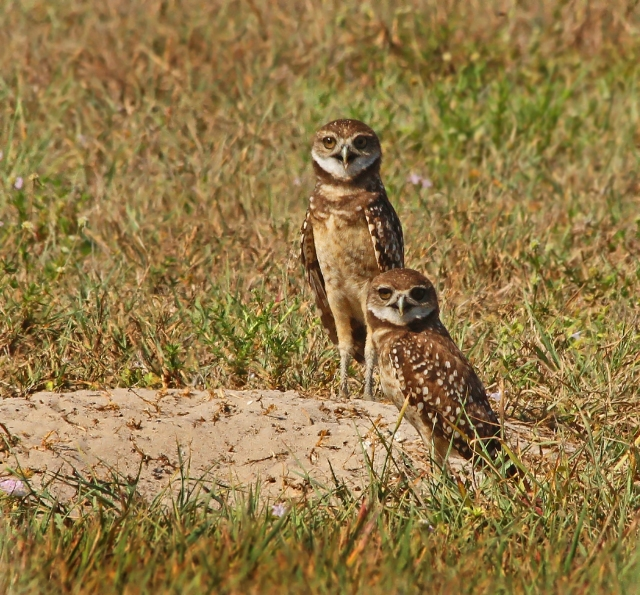 Burrowing Owls ... The parent Owl was about a foot to the right of these two watching me intently!