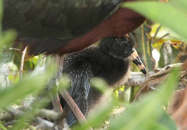Glossy Ibis ... A seldom seen baby.