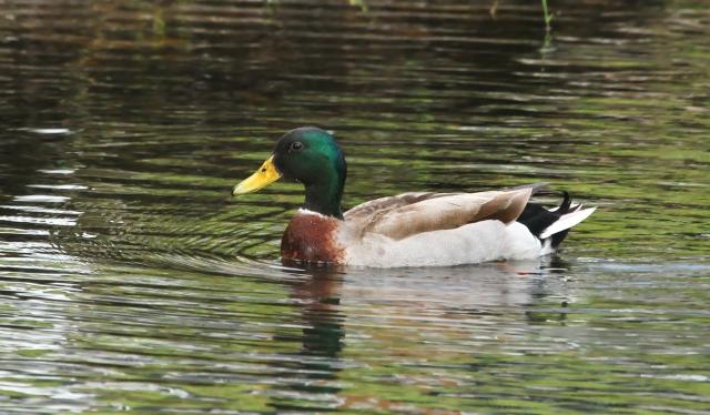 Mallard ... A nwe yard bird!