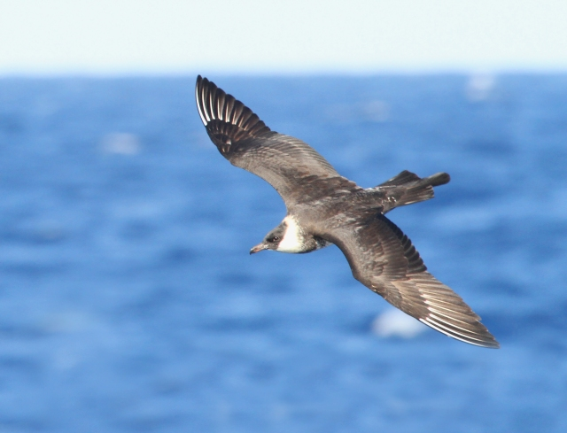Pomarine Jaeger ... One of the few species that put on a prolonged showing close to the boat.