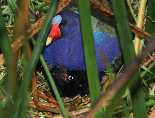 Purple Galinule ... She was actually covering up 3 babies.  Unfortuneatly the nest is not located well for photo ops!