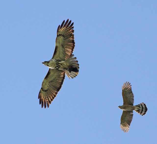 Red-tailed Hawk being harrassed by a Cooper's Hawk