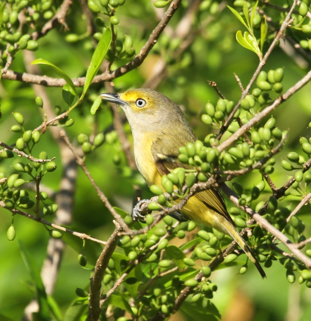 White-eyed Vireo ... We have these in South Florida in the Winter but their numbers swell when the migrating ones show up!