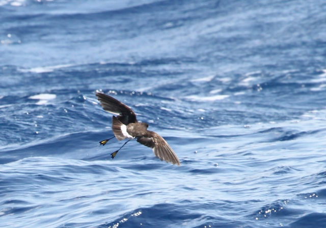 Wilson's Storm Petrel ... Not the sharpest of pictures but I thought the bottoms of his feet were really cool looking!