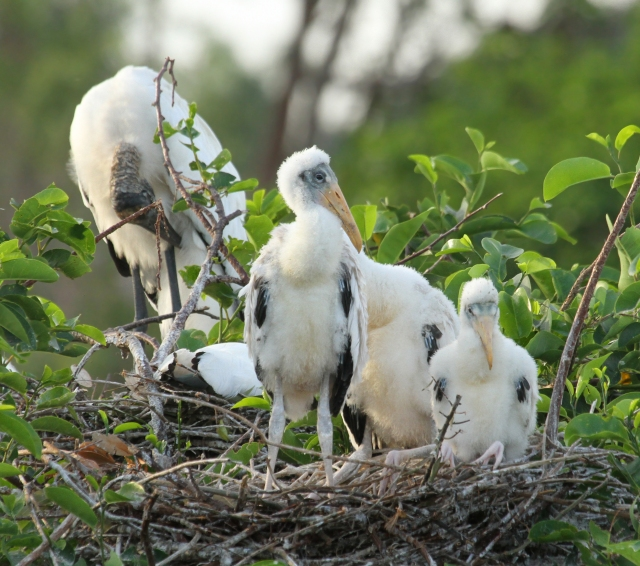Wood Storks ... These are the babies we are most thankful for as Wood Storks are very tempomental with where they nest and this is only the second year they have successful at Wakodahatchee Wetlands.