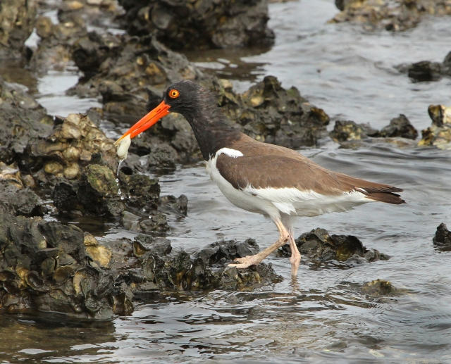 American Oystercatcher ... What a cool looking bird!!