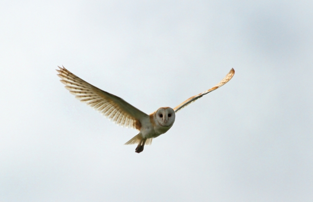 Barn Owl ... These guys are very skittish but when they do fly towards you they almost always maintain eye contact.