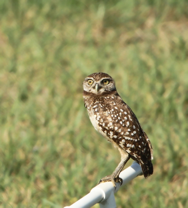 Burrowing Owl ... One of the same ones I took a couple of weeks ago.  I saw at least 3 other Owls in different places that morning around Campus.