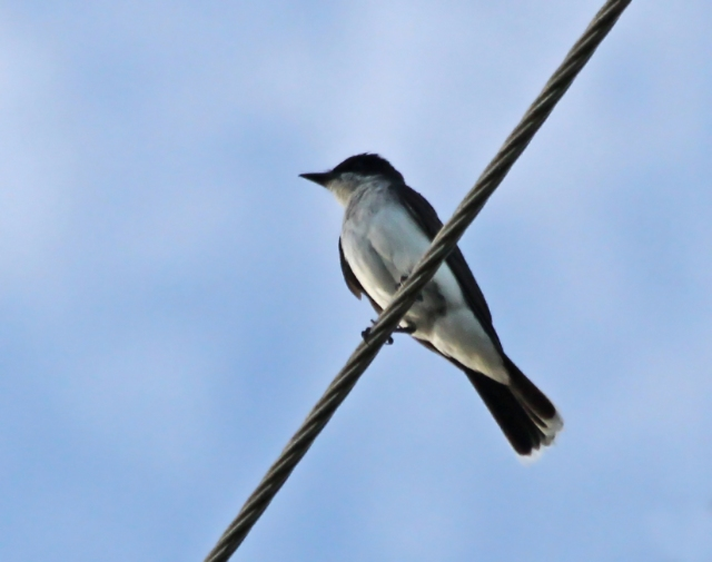 Eastern kingbird ... I normally won't take pictures of birds on a wire but since it was for the June Challenge I'll include it!