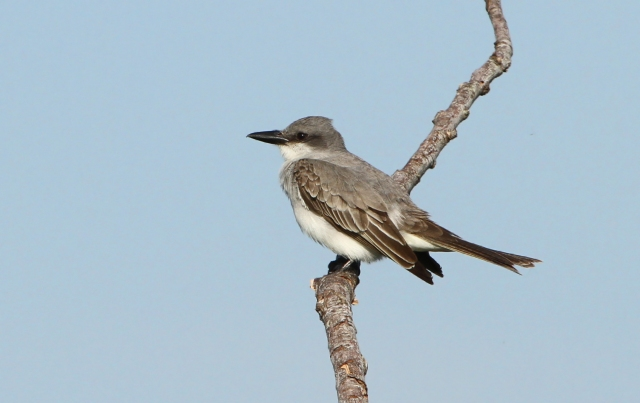 Gray Kingbird ... While I had already photographed one of these on a wire this one was so much better and on top of that a new bird for Loxahatchee NWR!