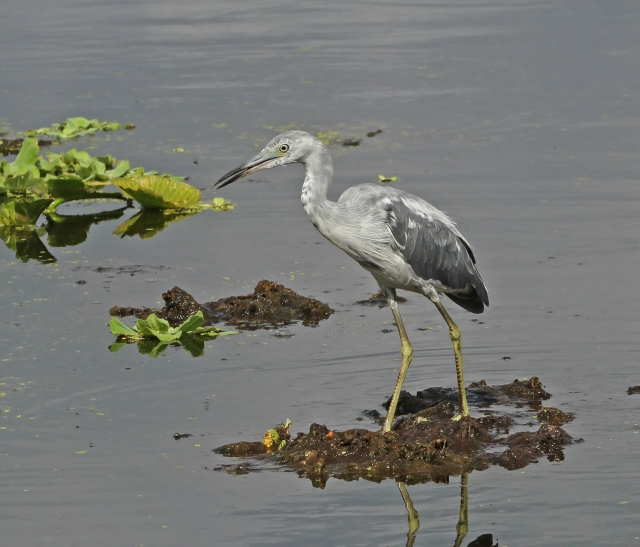 Little Blue Heron ... I love it when they are at this point of their molt.  They are unique in that they start out white and as they mature turn to their adult blue.