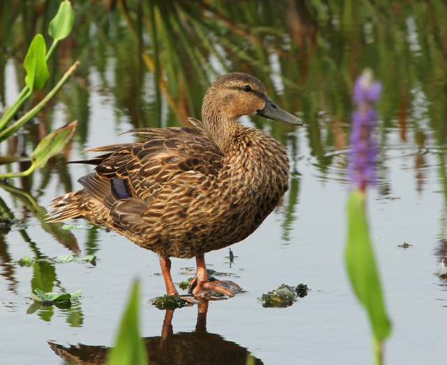 Mottled Duck ... There are two or three families of these around the wetlands right now.