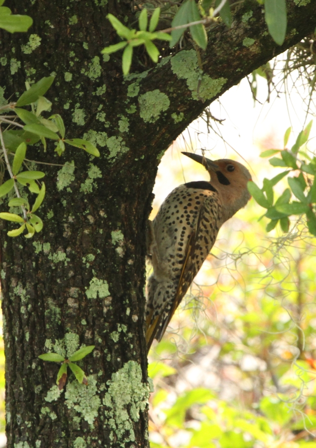 Northern Flicker ... This was a new species for me for the month of June.  I haven't compared lists from other years yet but I bet there are 3-4 more species that were new for this month.