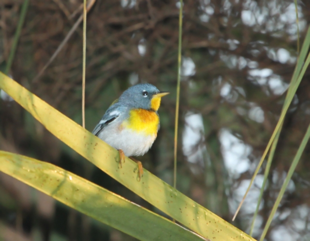 Northen Parula ... One of the few Warblers that stays in Palm Beach County