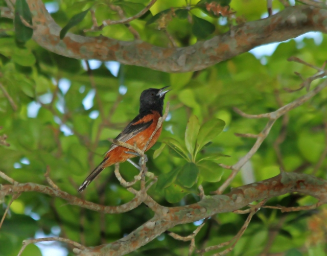 Orchard Oriole ... I chased this guy on Tuesday last week.  This species is only seen in one spot in the county each summer.  There has been a pair that have nested at Tory Island Campground in Belle Glade for the last couple of years.