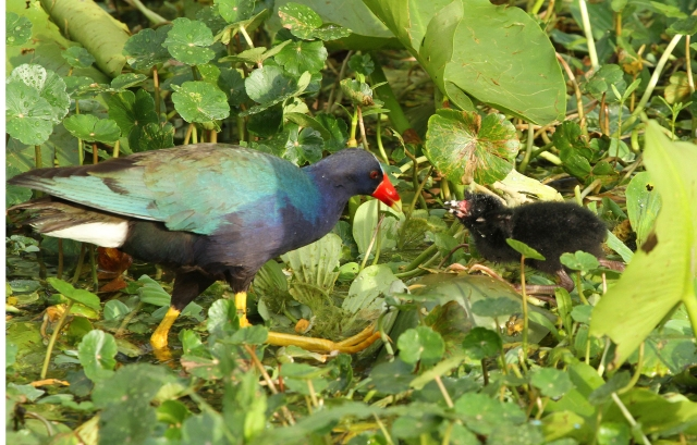 Purple Gallinules ... This little guy is only a couple of days old!