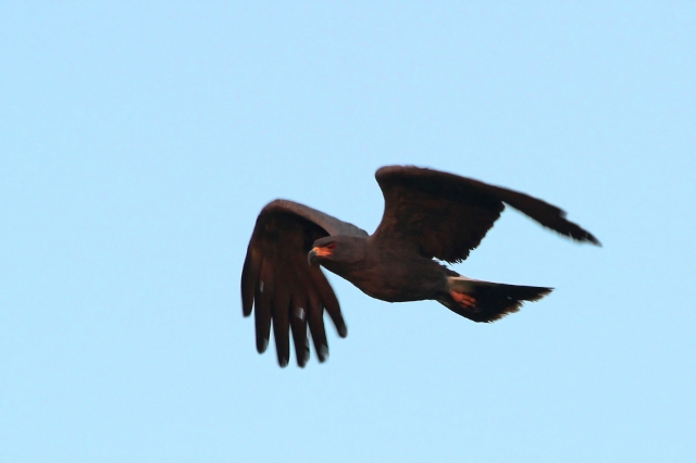 Snail Kite ... This was the only male of the 7 seen and was the last one to leave the roost.