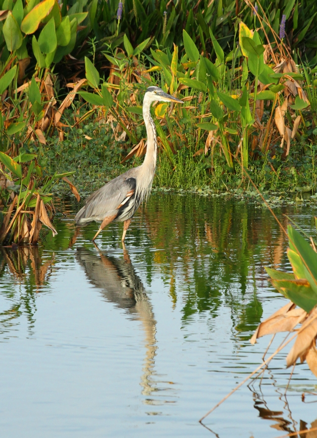 Great Blue Heron ... I don't take many habitat shots but thought this guy was worth posting.