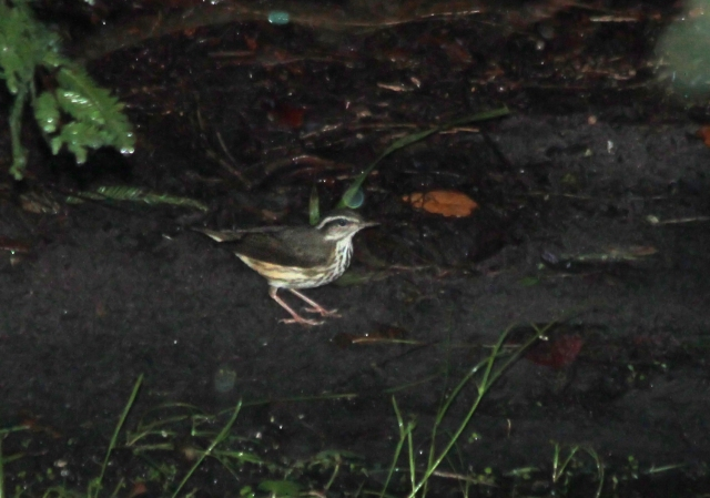Louisiana Waterthrush ... This was also a new bird for my Bigby!