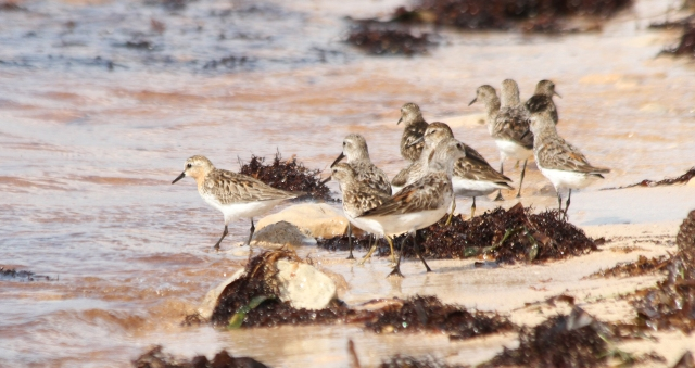 Here it is with some Western and Least Sandpipers.
