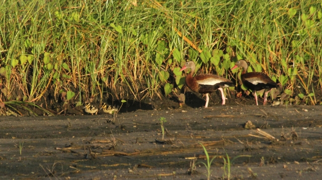 "Black Bellied Whistling Ducks ... I love the baby ""Bumble Bees""! They had 5 or 6 babies."