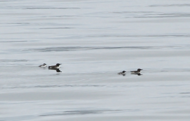 Common Murre ... This is father and young groups.  The fathers have 100% parental responsibiliyt once they leave the nest with their children.