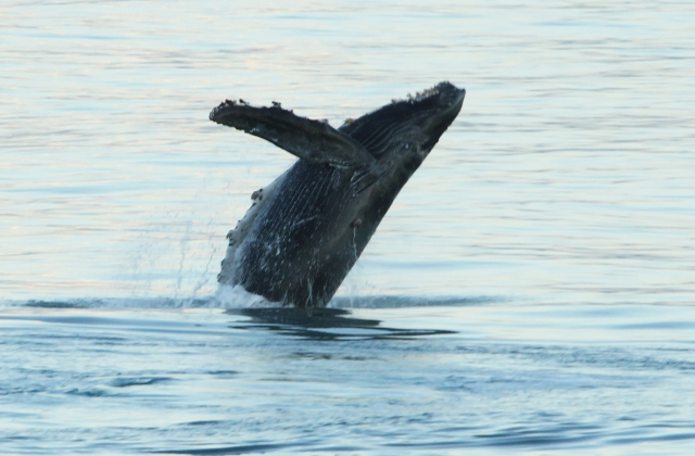 Humpback Whale ... One of the pictures I had hoped to get while visiting Alaska!!