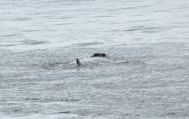 This one was heading away from the boat and you can see his blow holes.