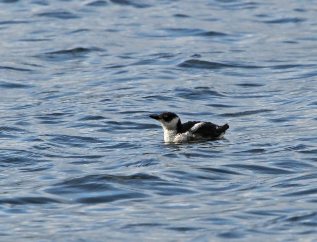 Marbled Murrelet ... A very nice pick up for me!
