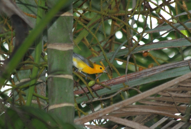 Prothonotary Warbler ... This was a very nice unexpected surprise!