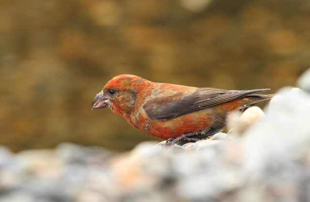 "Red Crossbill ... One of my favorite ""lifers"" from the trip."