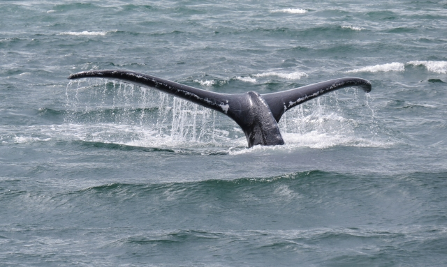 We had many Humpback whales throughtout our trip and this was the best of the best whale tail!!!  Courtesy of Terri!