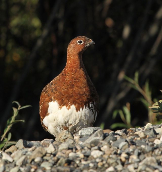"""Willow Ptarmigan ... This is the Alaska state bird and one of the """"Lifers"""" I photographed while in Alaska!"""