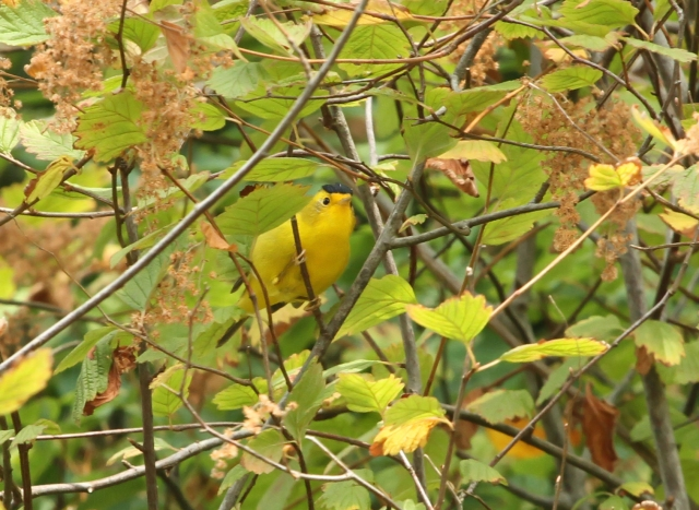 Wilson's Warbler ... Look at the cap on this apparently adjutated male!