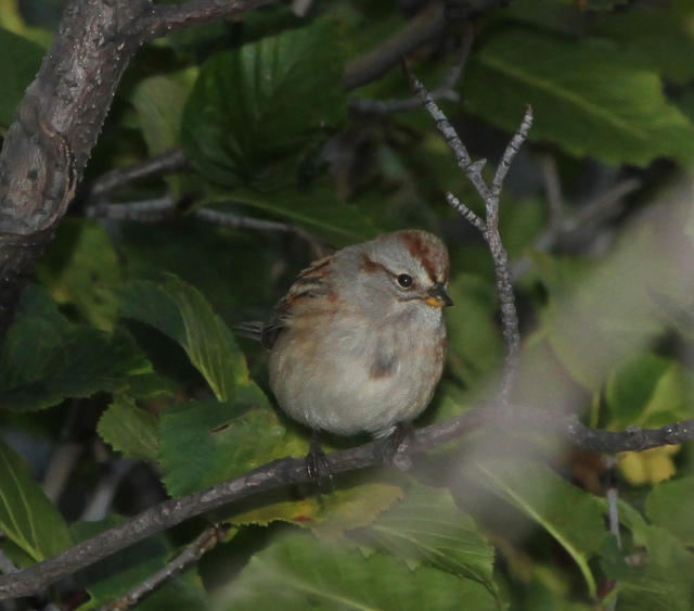 """American Tree Sparrow ... This guy was another """"Lifer"""" and I only wish he would have hung around for a few more pictures."""