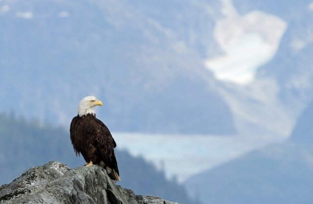 Bald Eagle with Suicide Glacier in the distance!