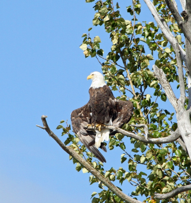 Bald Eagle ... This one is for my birding buddy LL!