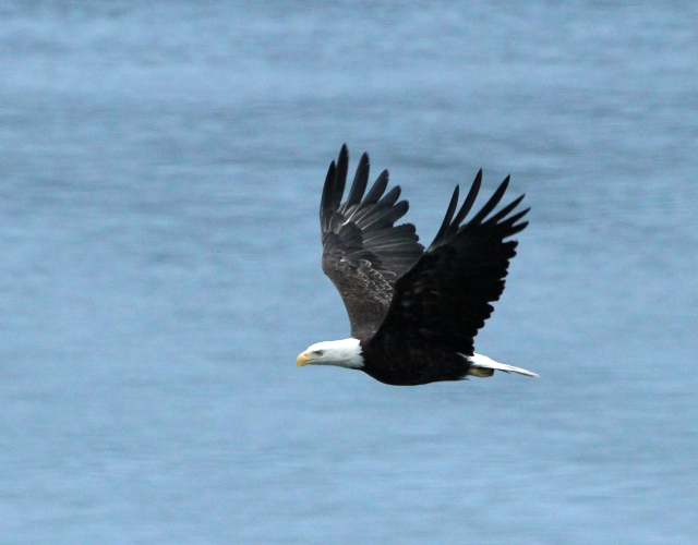 Bald Eagle ... Early morning flyby!