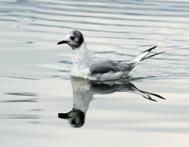 Bonaparte's Gull ... The water was so nice and calm!