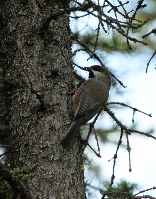 "Boreal Chickadee ... This was one of the ""lifers"" I expected to see and I was thrilled to get ti before we left the Denali area."