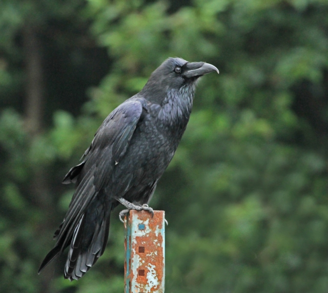 "Common Raven ... Not a ""lifer"" but by far the best picture I've taken of this beauty."