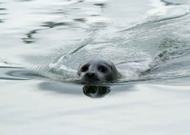 Harbour Seal ... I guess he was looking for scraps too!  How can you not like that face!