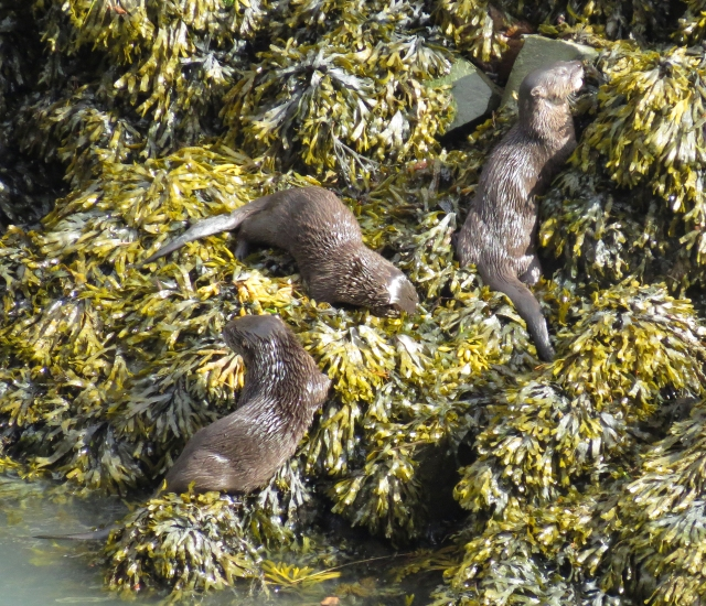 These are the 3 young Otters.  Mom was around and as she brought them something to eat they would race to her to be first!