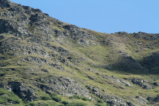 Can you find the dozen Mountain Goats in this picture ... you'll need to click on it and enlarge it!