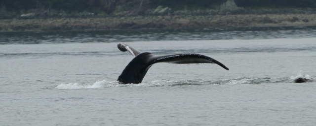 "My only whale tail of the trip .... mostly what you get is just the ""hump"" of the Humpback Whale!"