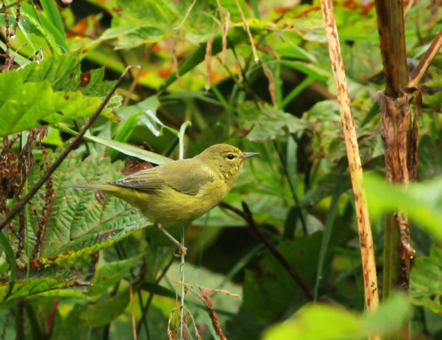 Orange-crowned Warbler ... These were very common on our trip.