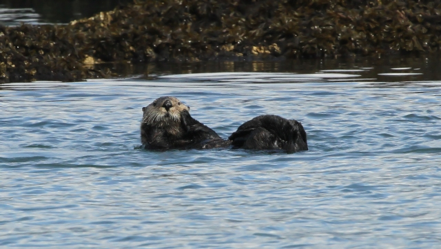 Sea Otter ... How could anyone ever kill one of these babies :(