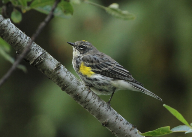 "Yellow-rumped Warbler ... ""Myrtle"" or East coast variety."